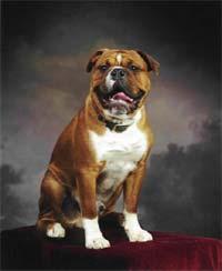 Olde English Bulldogge Old English Bulldog Leavitt Bulldogs