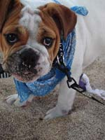 Bulldog puppy with sand on his muzzle
