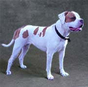 American Bulldog Information Pages