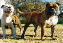 Australian bulldogs foundation dogs