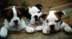 Aussie bulldog puppies