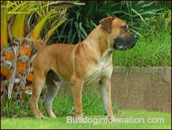 superb male Boerboel