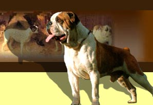 brown bulldog
