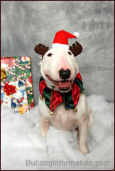 Bull Terrier Christmas Stuff