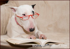 Bull Terrier with reading glasses