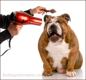 Owner combing and drying his bulldog with hair dryer