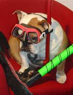 Bulldog with snorkle and diving mask