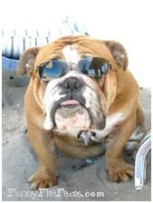 Fawn bulldog with blue sunglasses