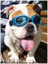 Bulldog with blue doggles