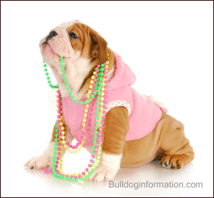 Bulldog puppy in pink hoody