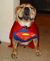 Bulldog dressed up as Superman