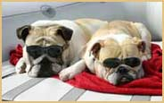 two english bulldogs with sunglasses