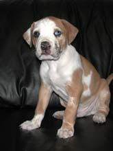 catahoula bulldog puppy