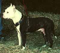 American Pit Bull Terrier (Pitbull)