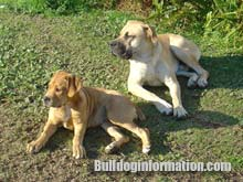 two boerboels male and female