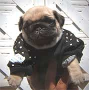 Female pug puppy with dress