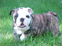 French Bulldogs For Sale Inland Empire | Dog Breeds Picture