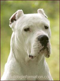 Argentine Dogo, Argentin dogo,