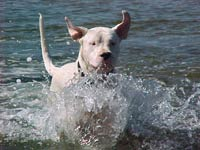 Dogo Argentino Uncropped Ears