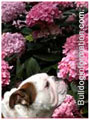 Bulldogs smelling flowers