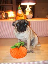 pug dressed up for Halloween