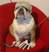 bulldog in golf outfit
