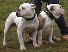 olde-tyme-bulldog-8.jpg