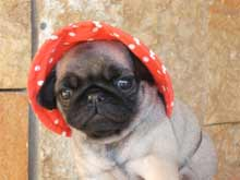 pug puppy with hat