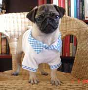Pug dog with polo-shirt