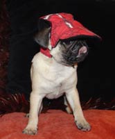 Funny Pug with cap