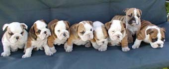 6 weeks old bulldog puppies
